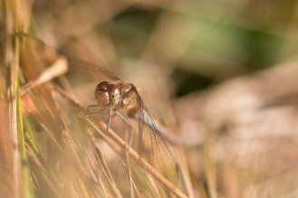 Common darter dragonfly, resting in the sun in one of the woodland rides. Photos from Bedford Purlieus national nature reserve in Peterborough.