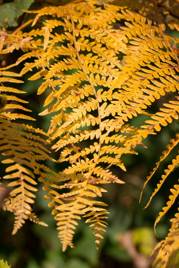 The bright autumn colour of braken fronds. Photos from Bedford Purlieus national nature reserve in Peterborough.