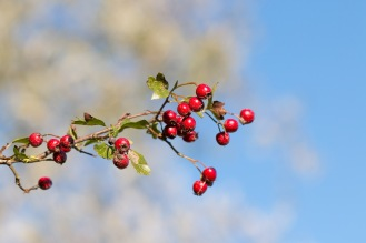 Bright red Hawthorn pomes against the blue sky. Photos from Titchmarsh nature reserve in Northamptonshire.