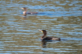 Two Cormorants out on the heronry lake, lots of them about. Photos from Titchmarsh nature reserve in Northamptonshire.
