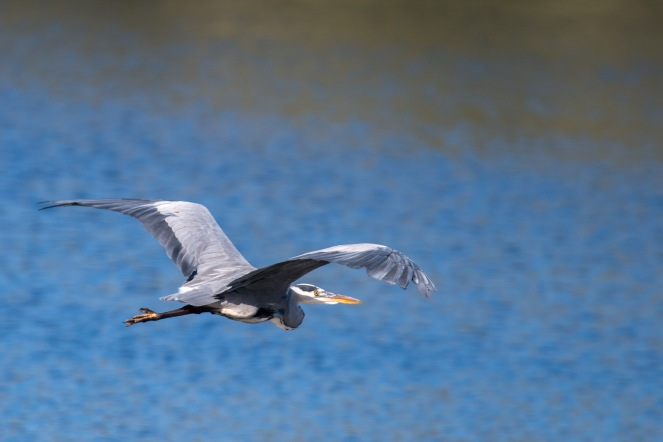 Grey Heron flying over the heronry lake. Photos from Titchmarsh nature reserve in Northamptonshire.