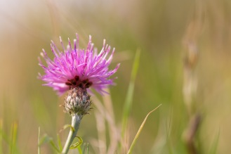A bright pink Common Knapweed flower in the morning sunlight. Photos from a trip to Twywell Hills and Dales and Twywell Plantation.