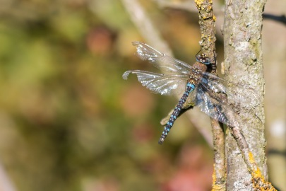 A migrant hawker dragonfly sunning itself on a tree trunk. Photos from a trip to Twywell Hills and Dales and Twywell Plantation.