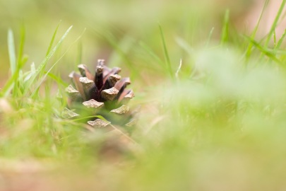 A fallen pine cone sitting amongst the grass. Photos from a trip to Twywell Hills and Dales and Twywell Plantation.