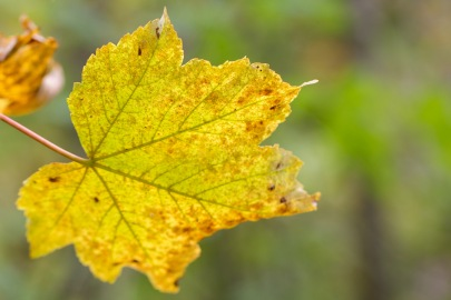 A sycamore leaf changing into autumnal colours. Photos from a trip to Twywell Hills and Dales and Twywell Plantation.