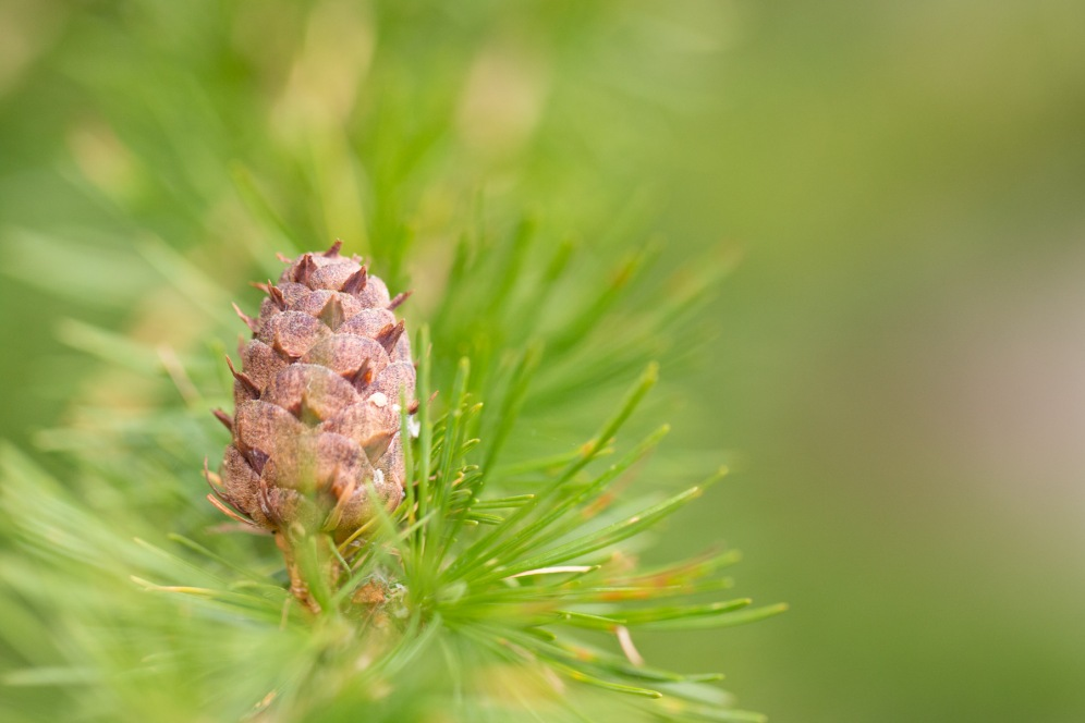 A new cone starting to open up on a fir tree. Photos from a trip to Twywell Hills and Dales and Twywell Plantation.