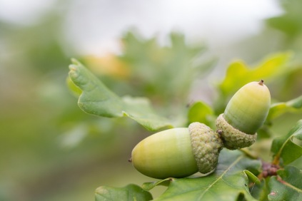 Acorns ripening up nicely. Photos from a trip to Wildlife Trusts Summer Leys LNR in early October.