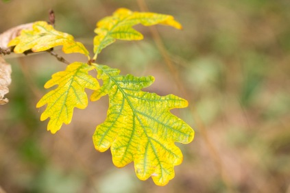 Oak leaves changing to autumn colours as the chlorophyll fades away. Photos from a trip to Wildlife Trusts Summer Leys LNR in early October.