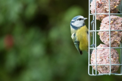 Blue Tit on one of the bird feeders in the feeding station. Photos from a trip to Wildlife Trusts Summer Leys LNR in early October.
