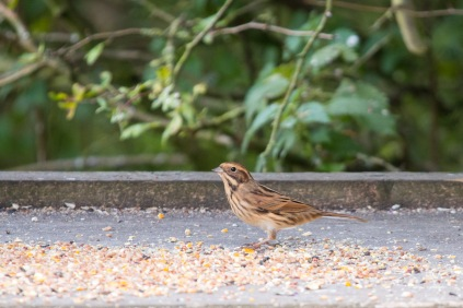 Female Reed Bunting on one of the bird tables in the feeding station. Photos from a trip to Wildlife Trusts Summer Leys LNR in early October.