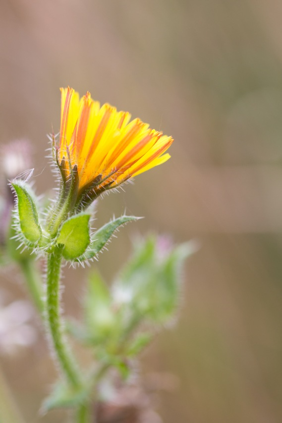 A bristly oxtongue flower opening up.Photos from a trip to Wildlife Trusts Summer Leys LNR in early October.