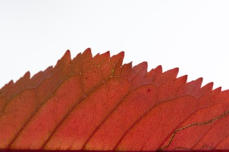 The structure of an autumn coloured cherry leaf, revealed in the fading evening light.