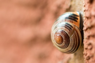 A brown-lipped groove snail, hunkered down under the shelter of my porch.