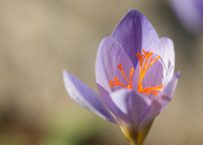 More autumn crocuses flowering in the garden.