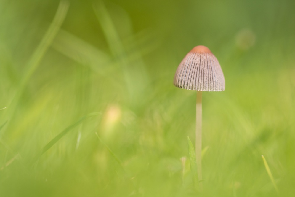 Pleated Inkcap mushroom sprouting from the lawn.