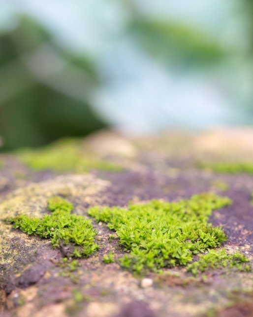 Tiny moss forests growing on the surface of a rock in the garden.