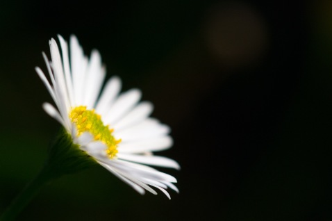 White flowers of Mexican fleabane standing out in the garden as the light fades.