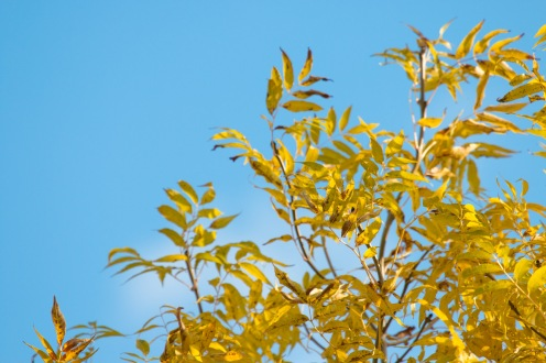 Bright yellow autumn colour of ash leaves contrasting nicely against the blue sky.