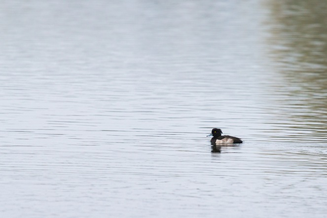A tufted duck out on one of the lakes. Photos from a trip to RSPB Fen Drayton Lakes nature reserve.