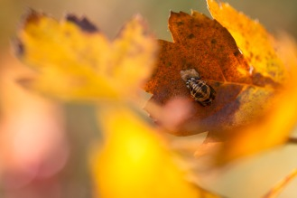 A ladybird exuvia (the shell left behind when a larve transforms into an adult) on a hawthorn leaf. Photos from a trip to RSPB Fen Drayton Lakes nature reserve.