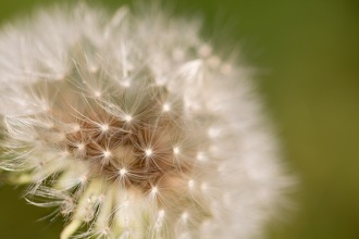 Dandelion seeds ready to be whisked off by the breeze. Photos from a trip to RSPB Fen Drayton Lakes nature reserve.