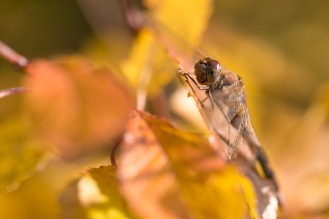 Common darter dragonfly taking in the morning sun amongst the autumn colours. Photos from a trip to RSPB Fen Drayton Lakes nature reserve.