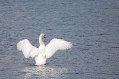 A mute swan stretching it's wings, in Moore Lake. Photos from a trip to RSPB Fen Drayton Lakes nature reserve.