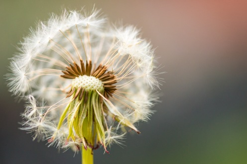 A dandelion setting seed in my lawn, many potential new plants floating away on the breeze.