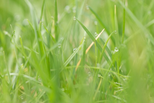 Dew drops still on the garden lawn in the early afternoon, it's been a damp day.