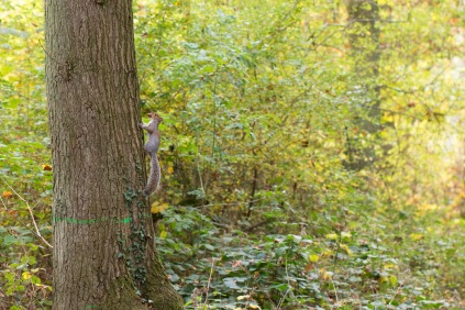 A grey squirrel making off with an acorn. Photos from a trip to Wakerley Great Wood.