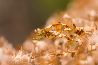 A tiny bit of green left at the end of a browning bracken frond. Photos from a trip to Wakerley Great Wood.