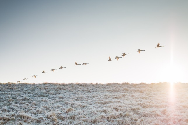 A group of whooper swans rising above the frosty barrier bank and the low morning sun at the Ouse Washes.