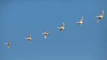 Another group of whooper swans, flying overhead at the Ouse Washes.