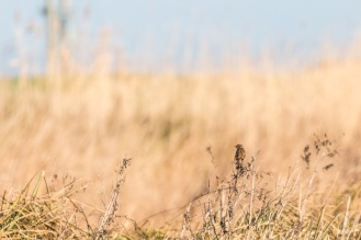 A meadow pipit perched on dead reed stems along the river bank at the Ouse Washes.