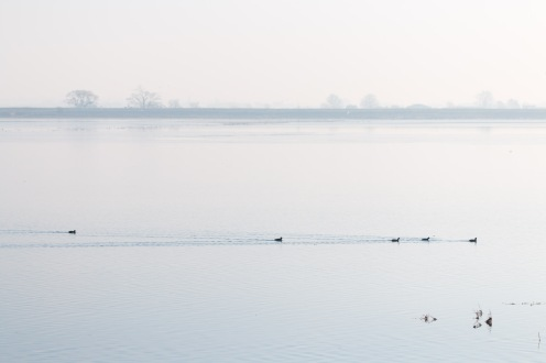 A group of coots swimming over the flooded grassland within the Ouse Washes.
