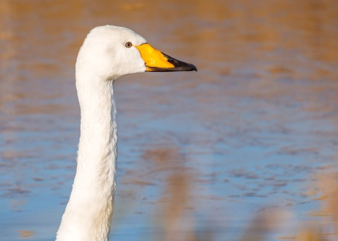 Up close with a Whooper Swan at the Ouse Washes. This one had broken away from the main group and was swimming up and down the drain on its own. Probably got fed up with the noise. :-)