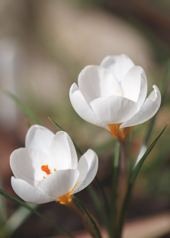 Snowdrops aren't the only white flowers around at the moment, crocus Snow Bunting flowers are looking great in the garden.