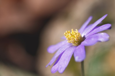 A wood anemone flower lapping up the sunlight in the garden.