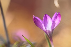 A crocus 'Ruby Giant' flower, lit up from the inside by sunlight in the garden.