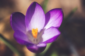 The bright yellow stamen and stigma Inside a deep purple crocus 'Ruby Giant' flower.