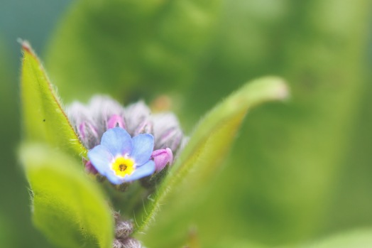 First of the Forget-me-not flowers to open in the garden this year.