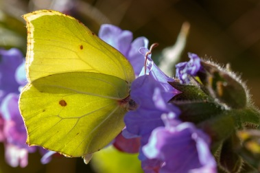 Brimstone butterfly buried head first into a pulmonaria flower in the garden.