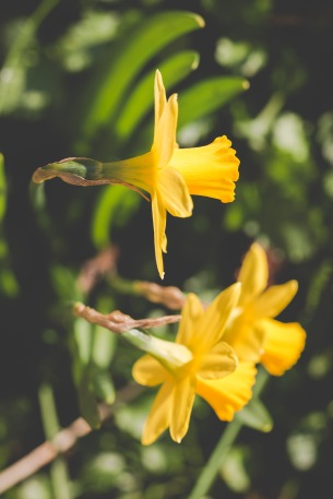 Looking down on daffodils in the garden, thought I'd try out a different angle.