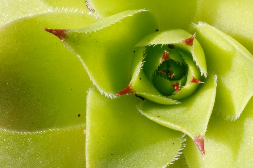 The spiral of spiked leaves that make up a houseleek rosette.
