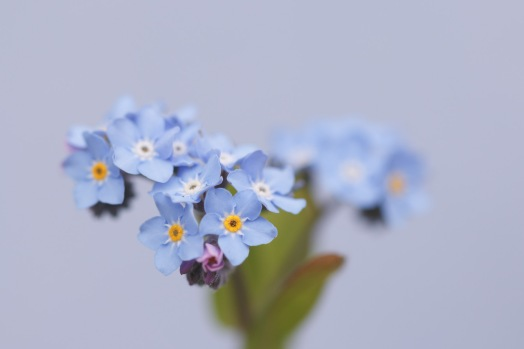Experimenting in the garden, holding a peice of coloured card behind this forget-me-not flower for a different background to the usual green and blue of leaves and other flowers.