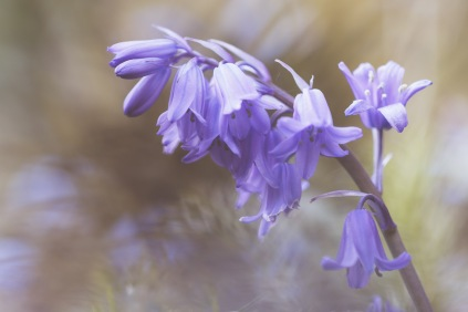 A small collection of photos of the Bluebells flowering in the garden. (2/4)