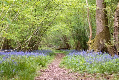 Woodland trail leading through the bluebells at Wildlife Trusts Short Wood in Northamptonshire.