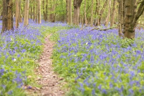 Another narrow path in Southwick Wood, and bluebells through the trees as far as you can see.