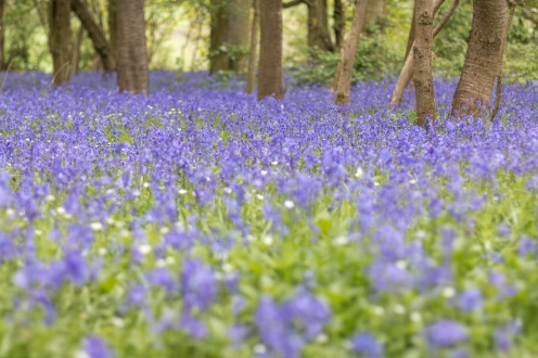 The thick blue carpet of bluebells in Southwick Wood.