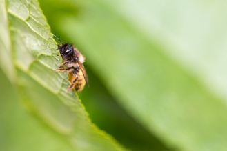 Red mason bee climbing up a buddleja leaf.